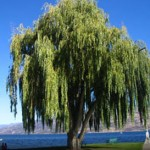 The Fastest Fast Growing Trees | Arbor Day Blog