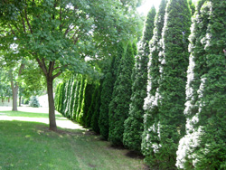 Best Privacy Screen Trees And Shrubs Arbor Day Blog