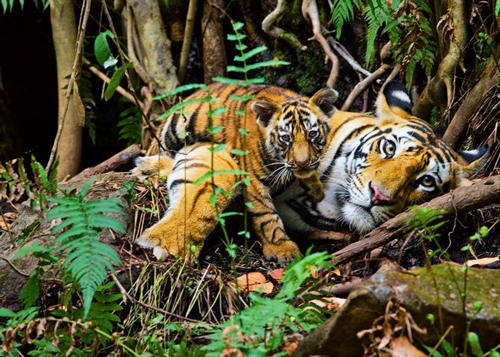 Tigers recline in their natural habitat. Image via National Geographic; photo credit: Steve Winter.