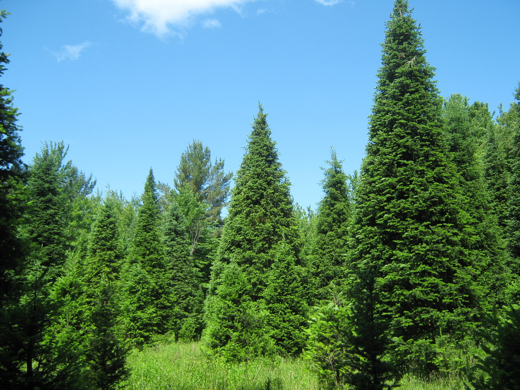 The Five Most Popular Christmas Trees • Arbor Day Blog