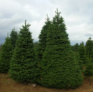 Large-Noble-Fir-300x296[1]