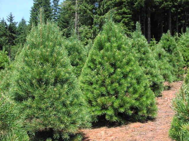 Scotch Pine Christmas Tree.The Five Most Popular Christmas Trees Arbor Day Blog
