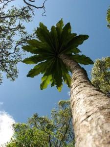 cyanea superba hawaii tree
