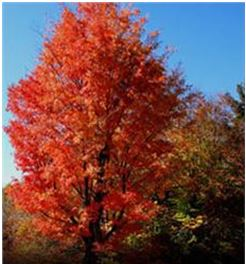 Red Maple Stays True To Its Name By Featuring Something All Year Round Buds In Winter Flowers Spring Leafstalks Summer And Brilliant Or