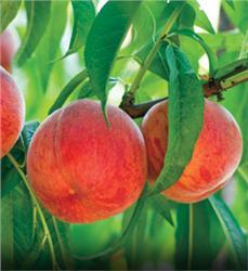 Golden-Jubilee-Peach_1-892
