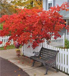 Japanese-Red-Maple_1-866
