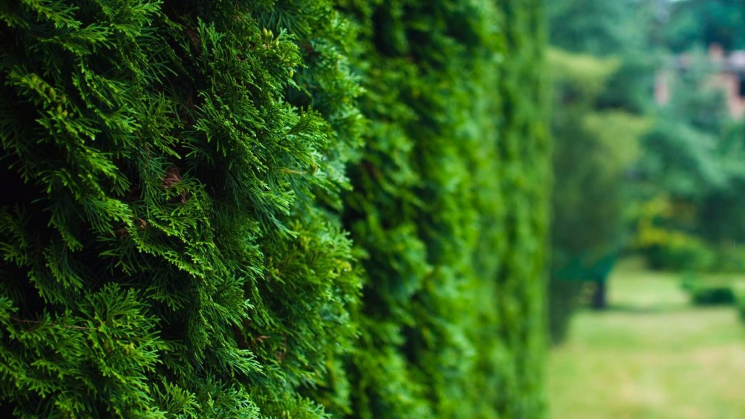 Tree Care Tips For The Tree Of Life Arborvitae Arbor