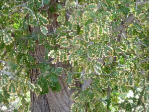 TX ebony leaves