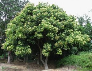 Western Soapberry full tree