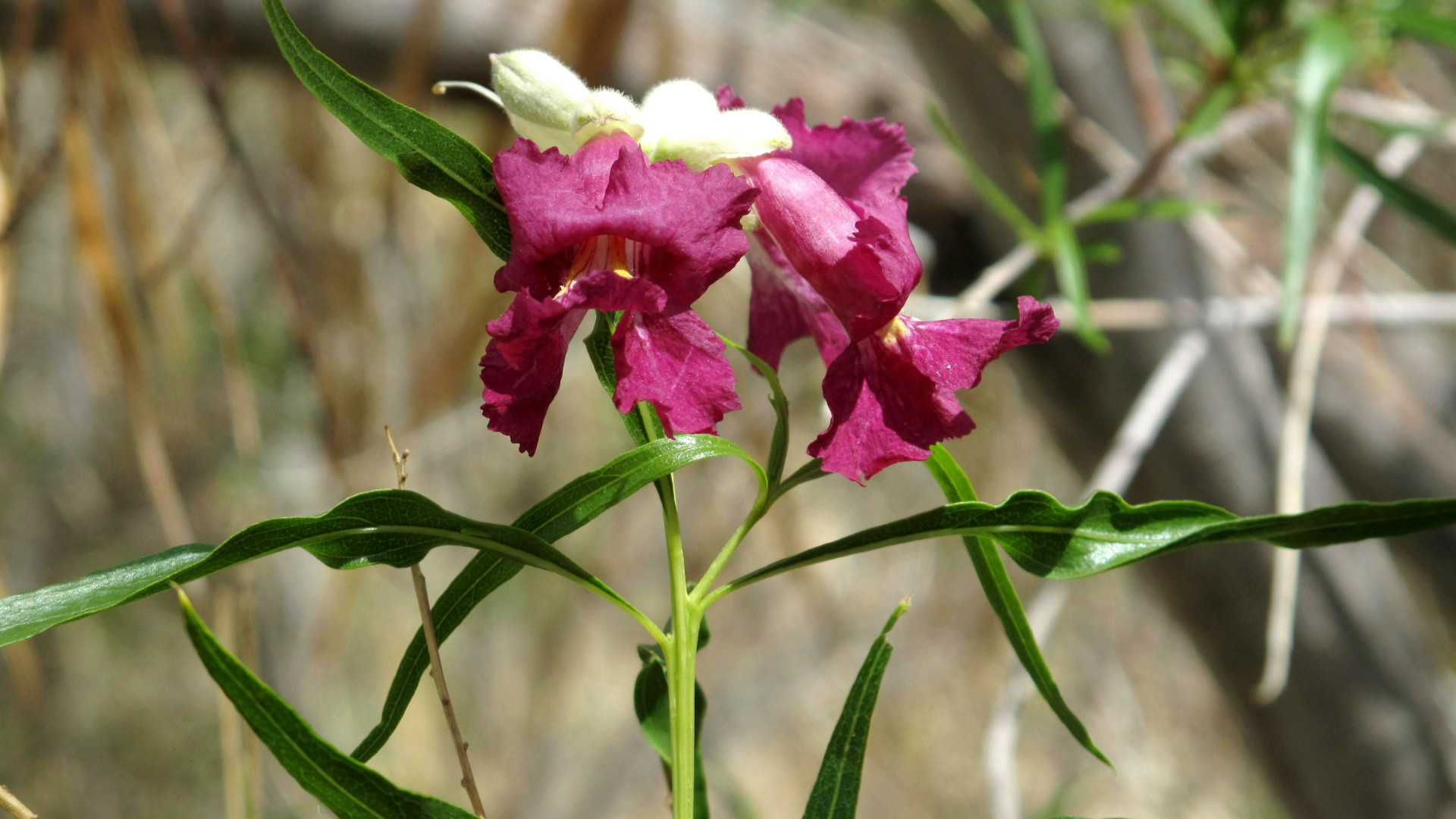 Desert willow the tree that blooms in drought mightylinksfo