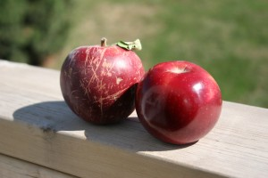 Heirloom Apples from Arbor Day Farm: Arkansas Black.