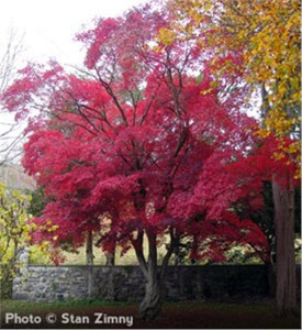 Japanese-Red-Maple_5-866[1]