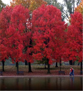 Red-Maple_4-867[1]
