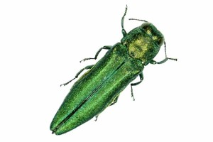 figure-emerald-ash-borer-1[1]