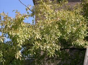 lacebark elm leaves