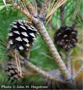 Scots-Pine_3-902[2]