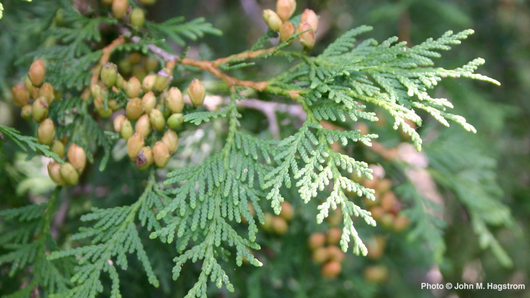 how to care for arborvitae the tree of life arbor day blog