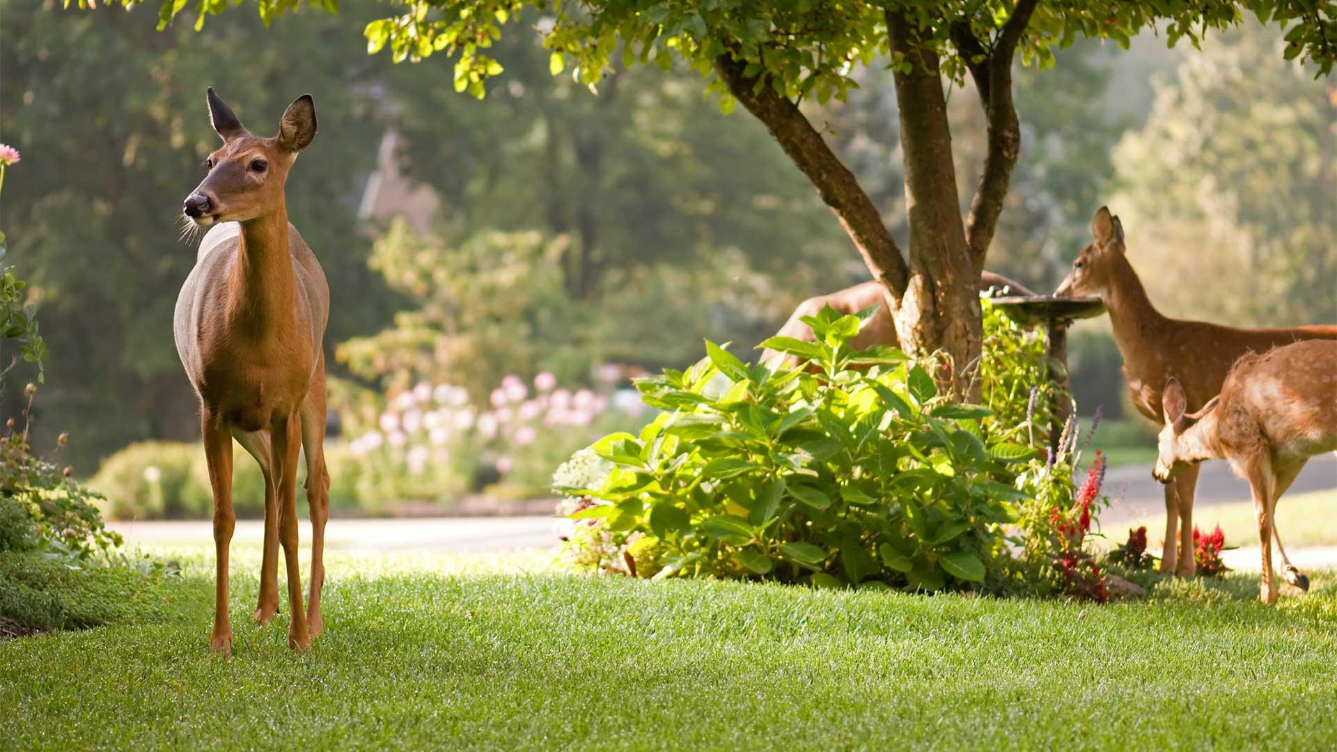 Deer Resistant Trees And Shrubs No More Deer Repellent