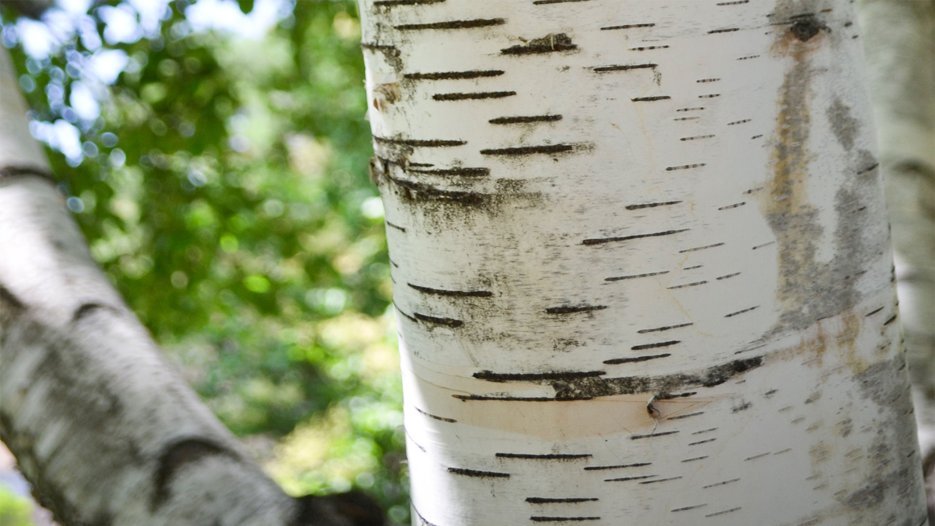 """paper bark birch trees for sale """"birch is one of the major trees for forest products in the northern  including  mutations that may affect how well birch trees grow and respond."""