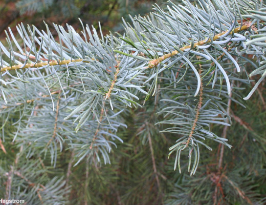 White fir