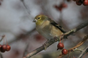 American Goldfinch in crabapple by Jake Dingel