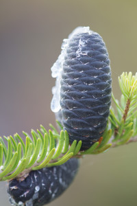 balsam fir silver leapers flickr