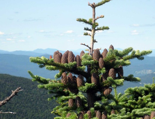 balsam-fir-sized