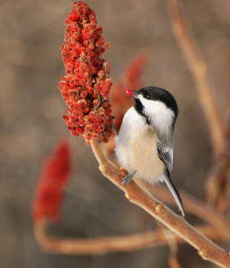 black-capped chickadee in staghorn sumac photobysuzanne britton