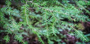 eastern hemlock photo by paul smith's college