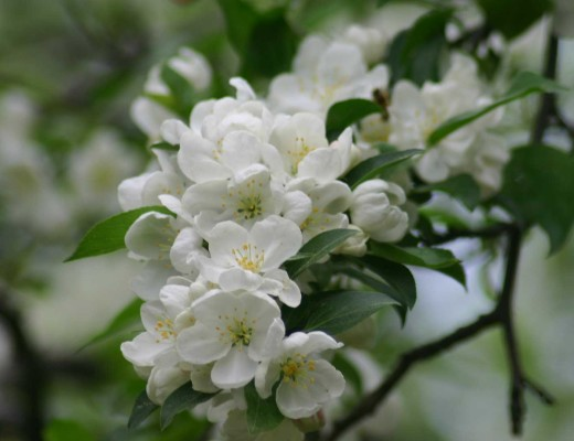 snowdrift-crabapple-sized