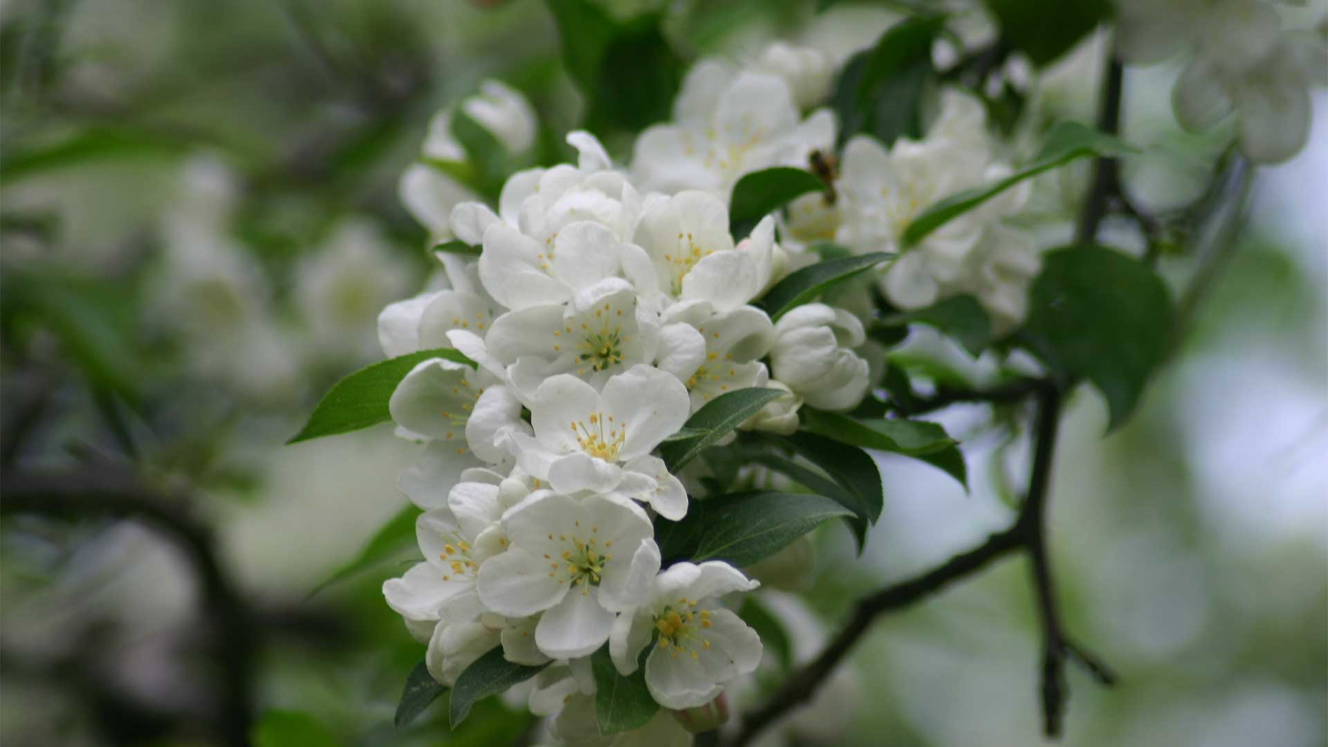 Snowdrift Crabapple A Faint Delight Arbor Day Blog