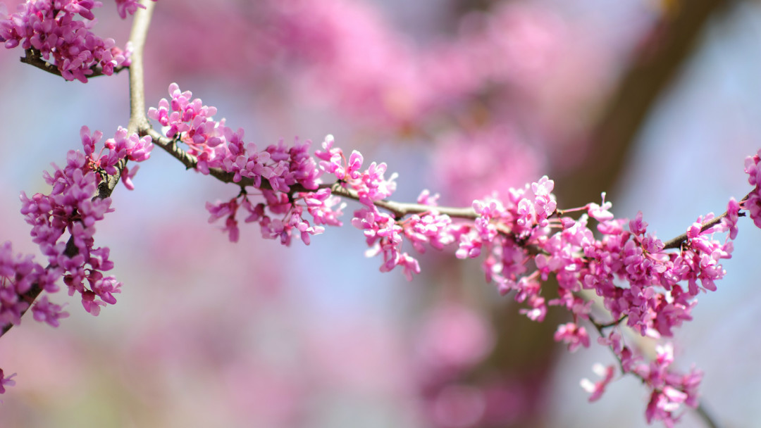 Eastern Redbud A Sign Of Spring Arbor Day Blog