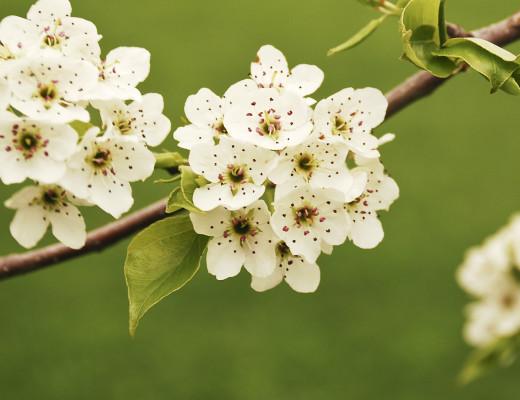 white dogwood
