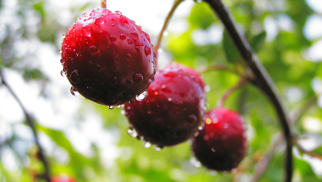 Bing Cherry: A World Traveler • Arbor Day Blog
