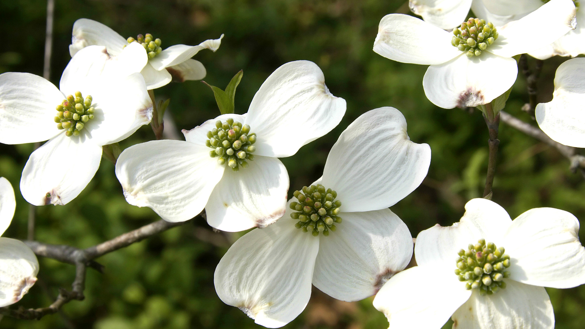 White Dogwood A Crowd Pleaser Arbor Day Blog