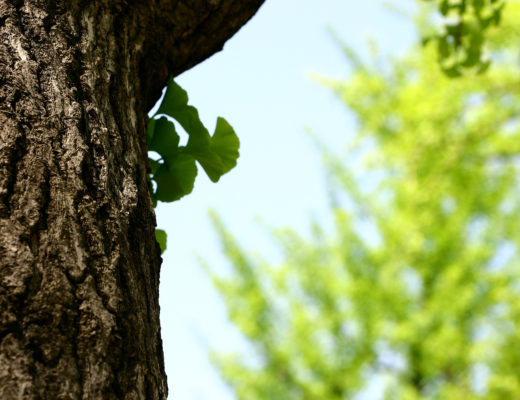 gingko-tree-