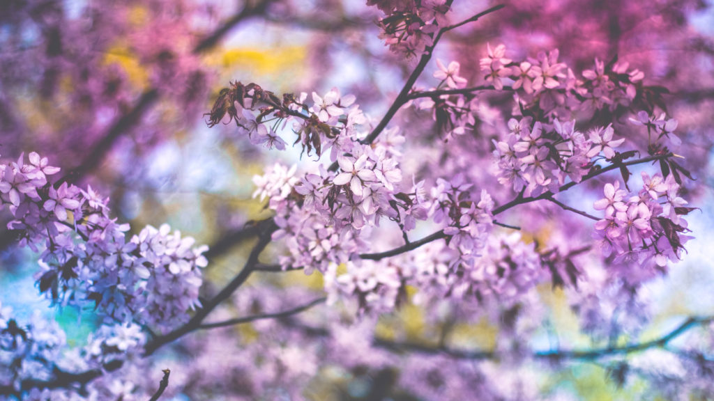 Now Lilacs Are Blooming In March >> Top 10 Flowering Trees
