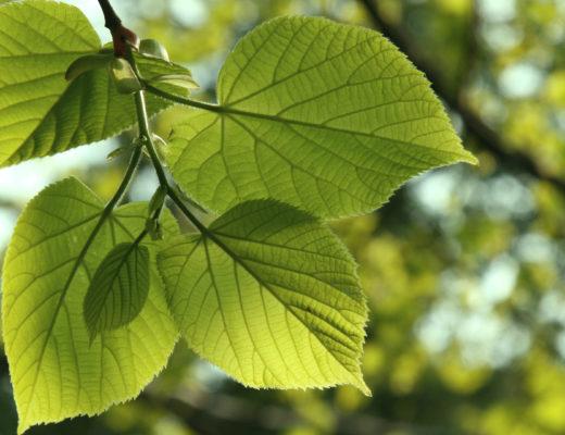 little leaf linden leaf
