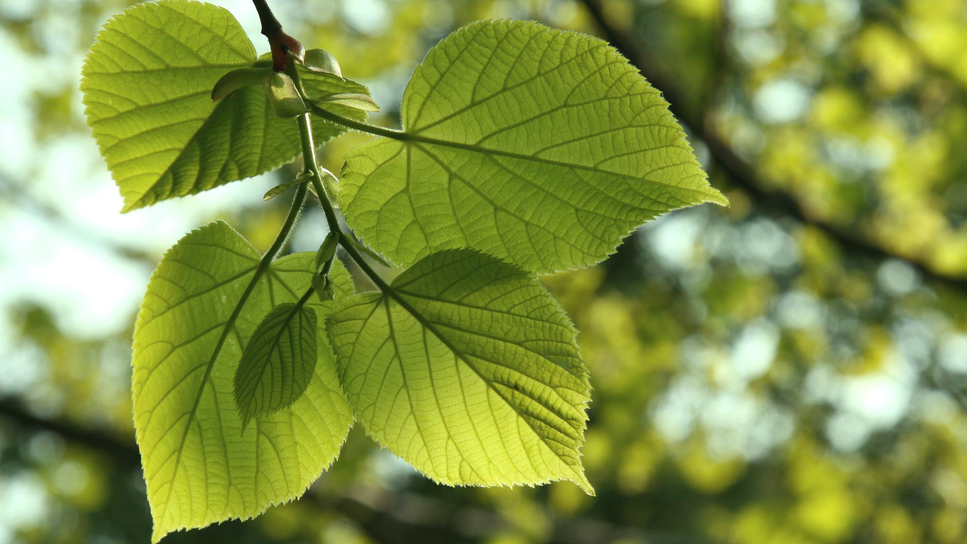 Littleleaf Linden The Tree of Love • Arbor Day Blog