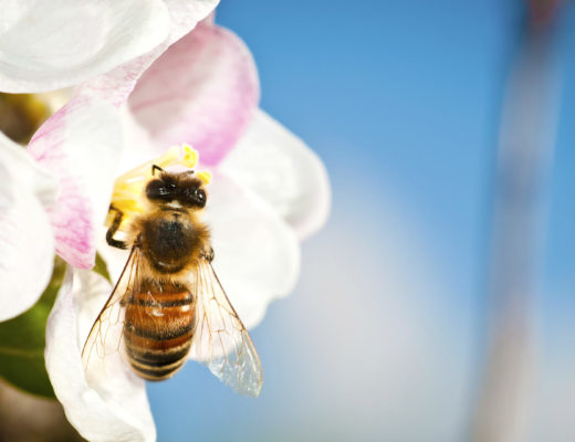 bee on peach tree