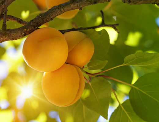 iStock_26005642_apricots on tree