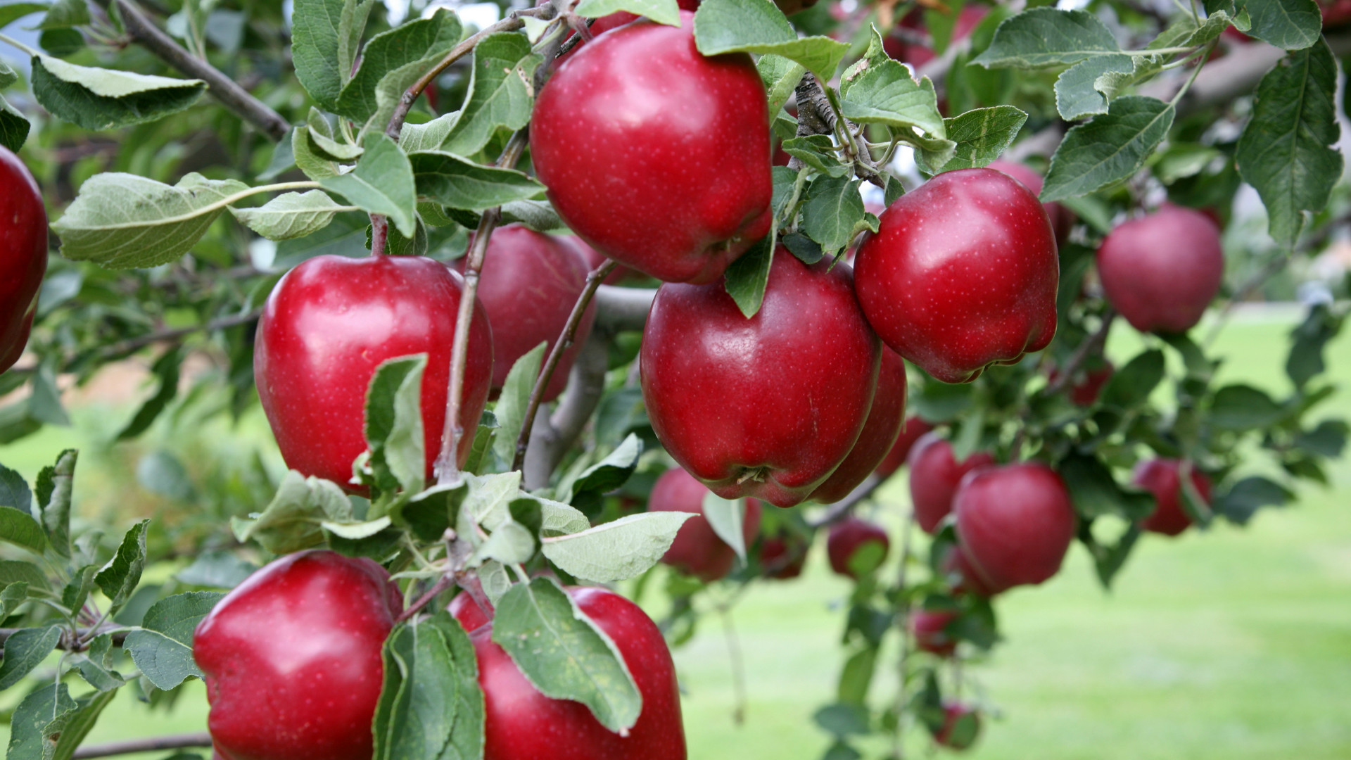Red Delicious Apple: The Fruit of Knowledge | Arbor Day Blog