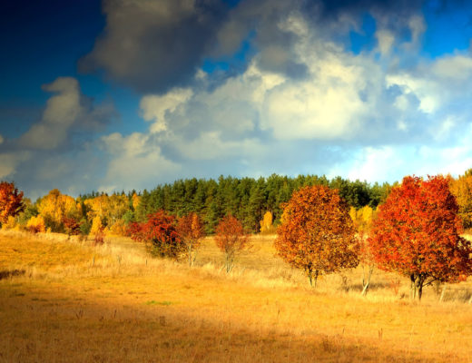 red-maple-trees-in-field