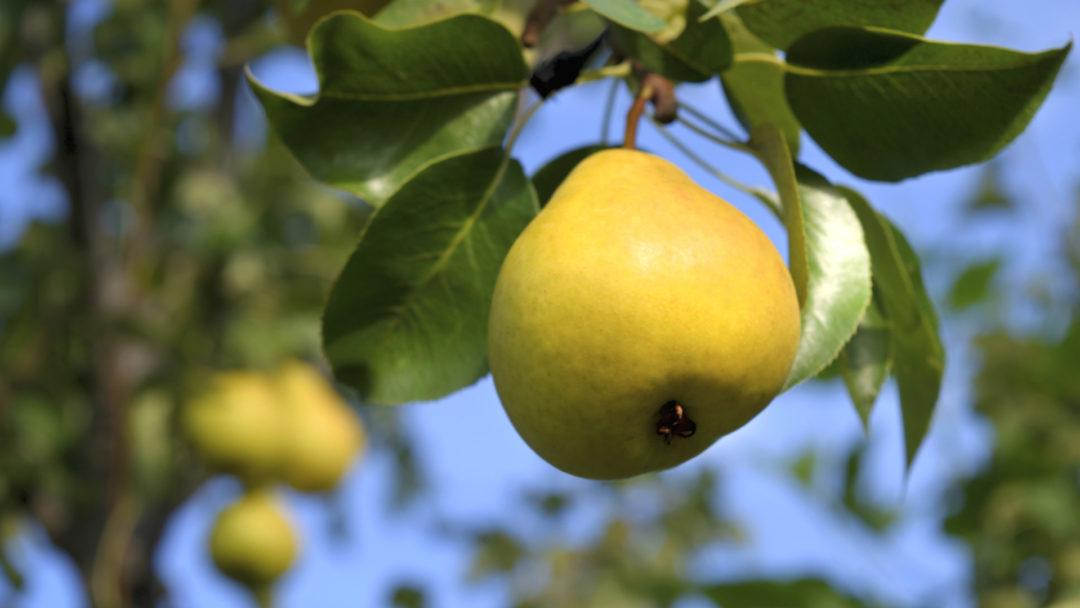 orient-pear