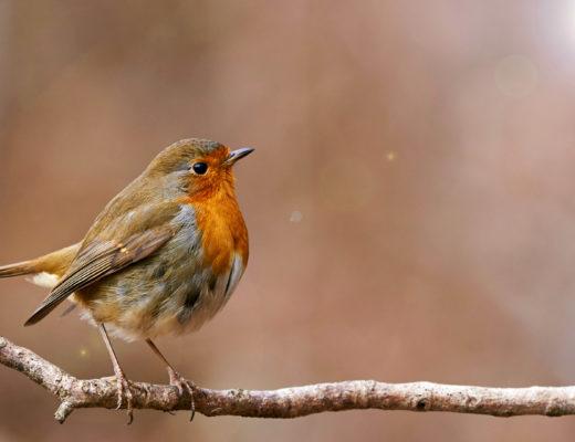 european-robin-tree-branch
