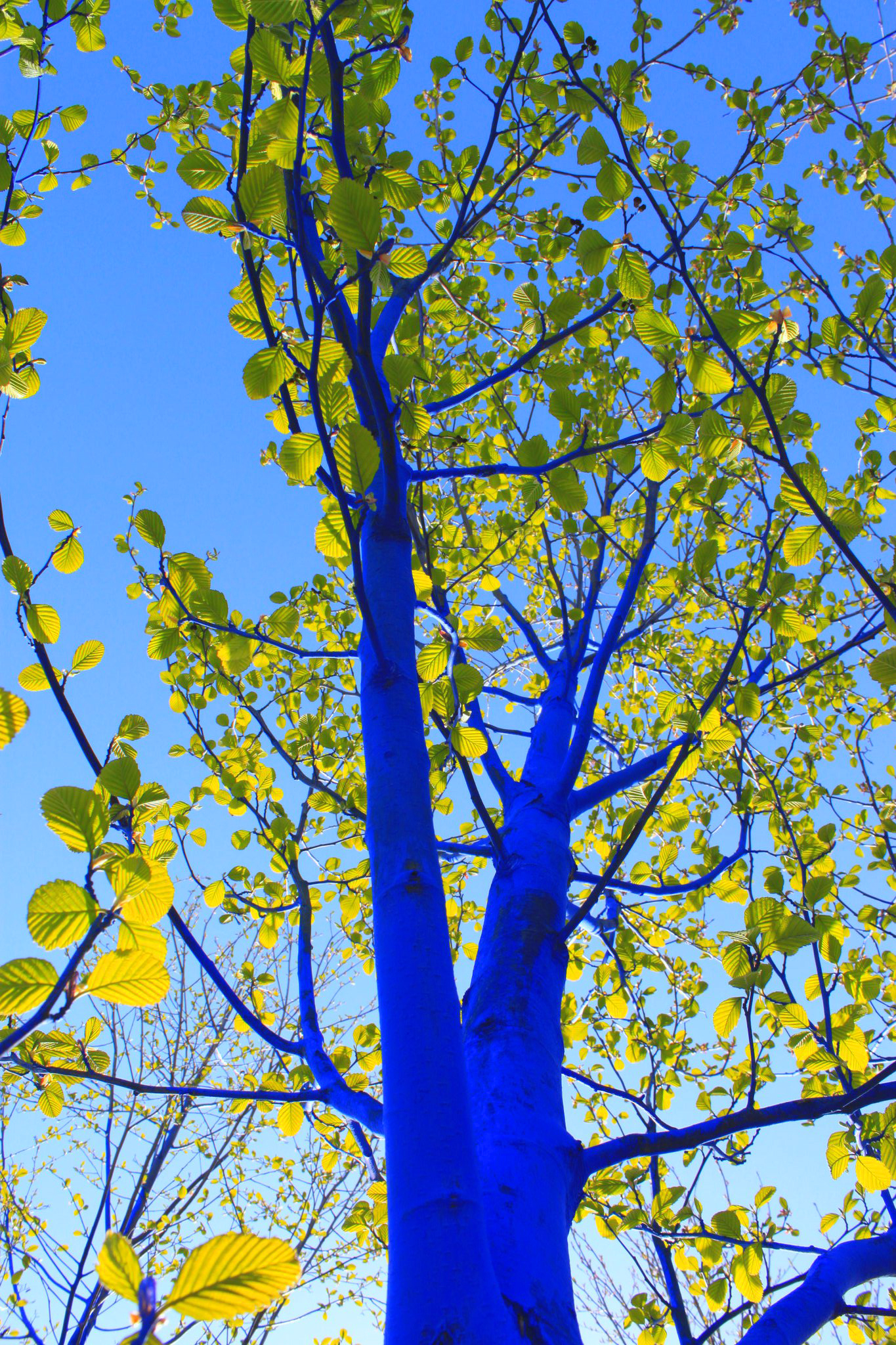 blue-tree-in-leaf_closeup_dimopoulos