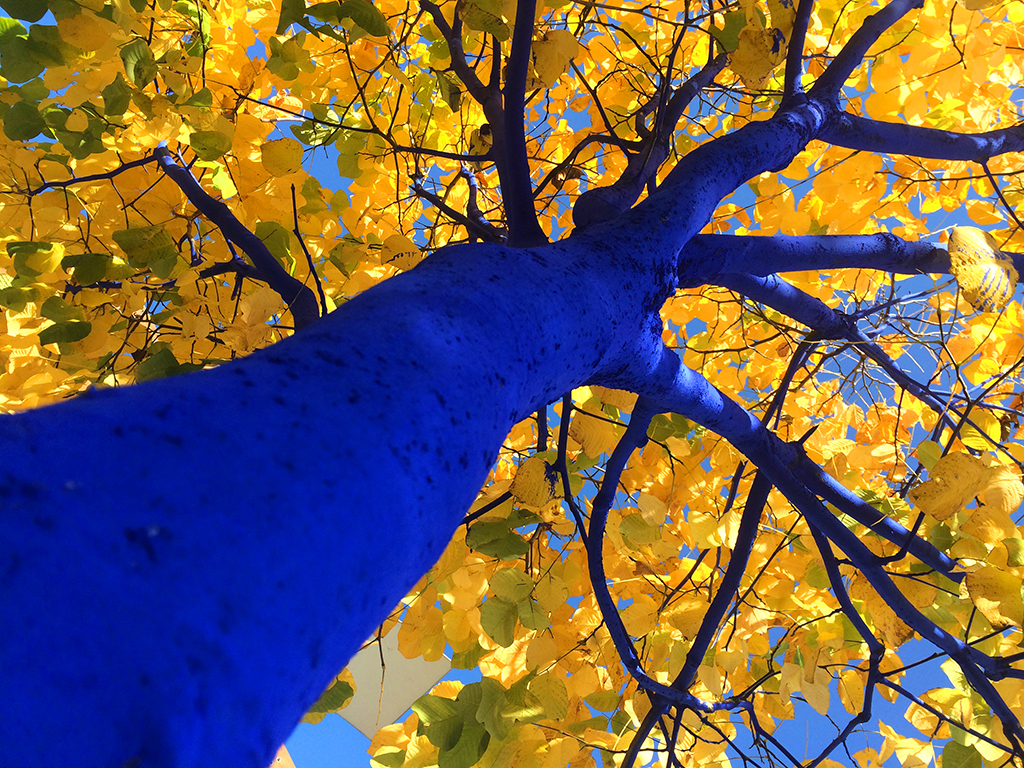 bluetreeyellowleaves_lookingup_vancouver_dimopoulos