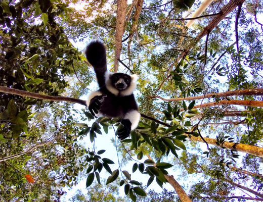 lemur-hanging-from-trees