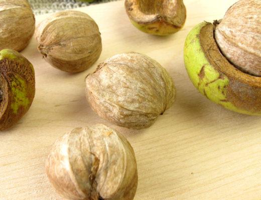 shellbark-hickory