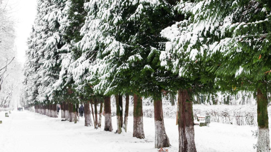 arborvitae-tree-row